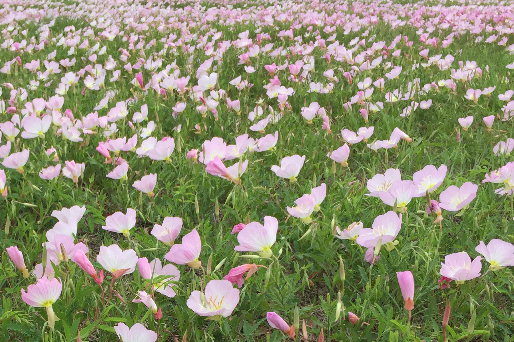 texas-wildflower-pink-buttercups-fort-bend-3